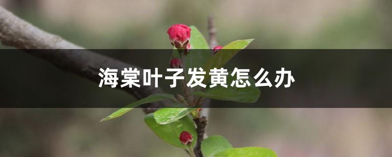 海棠叶子发黄怎么办