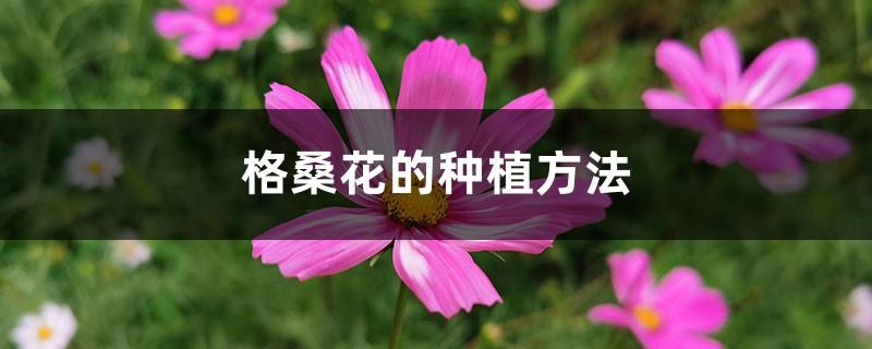 格桑花的种植方法