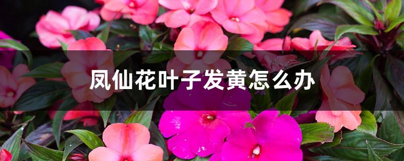 凤仙花叶子发黄怎么办