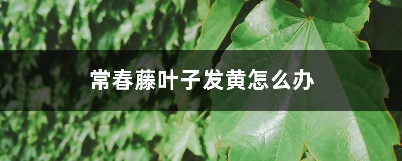 常春藤叶子发黄怎么办