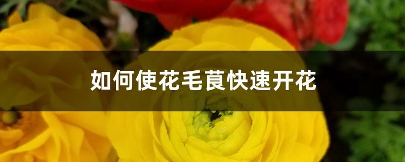 如何使花毛茛快速开花