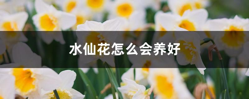 水仙花怎么会养好