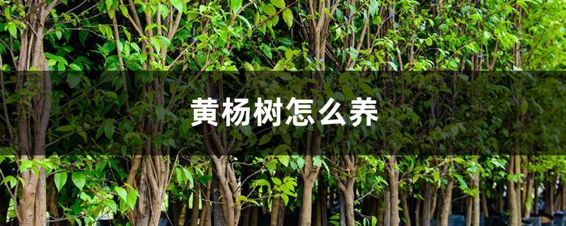 黄杨树怎么养