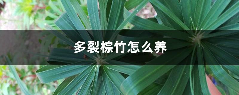 多裂棕竹怎么养