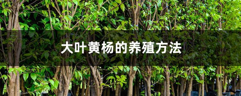 大叶黄杨的养殖方法