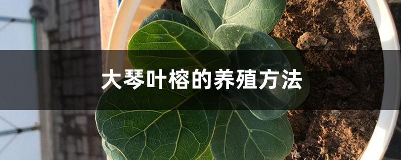 大琴叶榕的养殖方法