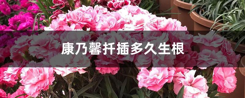 康乃馨扦插多久生根