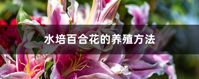 水培百合花的养殖方法
