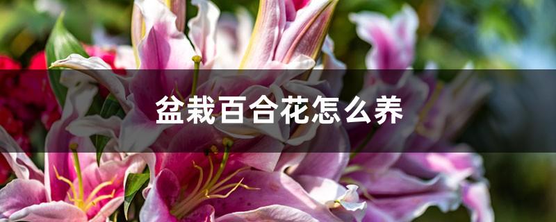 盆栽百合花怎么养