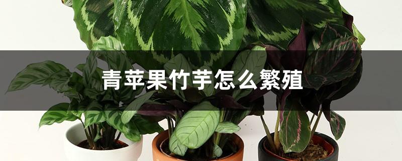 青苹果竹芋怎么繁殖