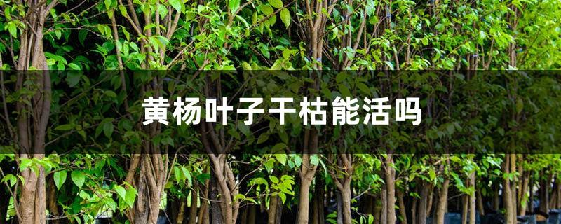 黄杨叶子干枯能活吗