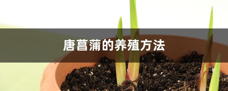 唐菖蒲的养殖方法和注意事项大全