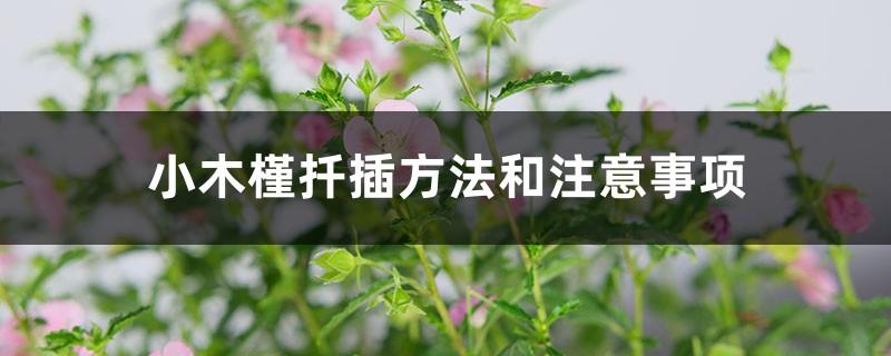 小木槿扦插方法和注意事项