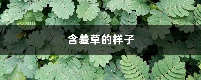 含羞草的样子,含羞草的叶子像什么