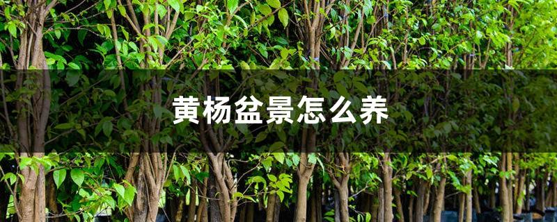 黄杨盆景怎么养,冬天怎么浇水