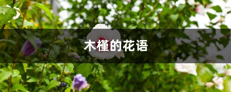 木槿的花语和寓意,有什么传说故事