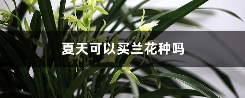 夏天可以买兰花种吗,能种活吗