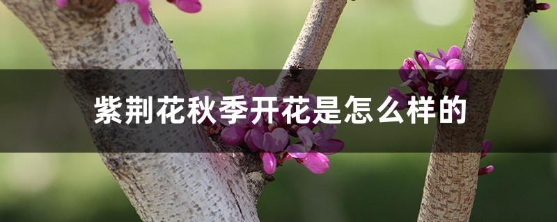 紫荆花秋季开花是怎么样的,多久施一次肥