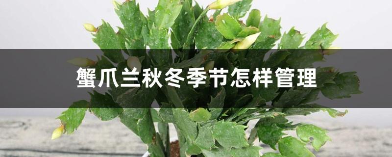 蟹爪兰秋冬季节怎样管理,秋冬季能扦插吗