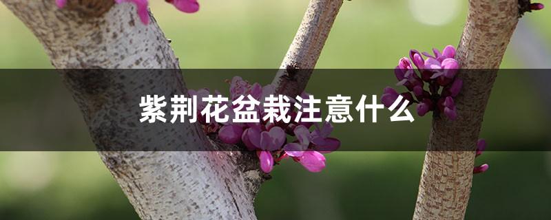 紫荆花盆栽注意什么,需要修剪吗