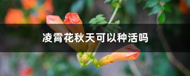 凌霄花秋天可以种活吗,如何种植