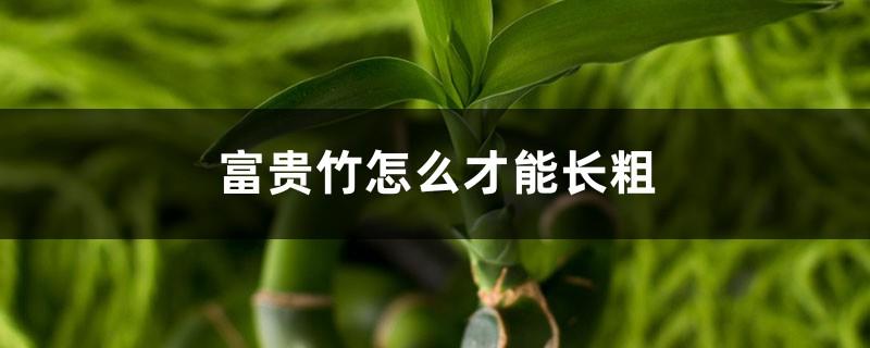 土培富贵竹怎么才能长粗,水培富贵竹怎么养才能粗壮