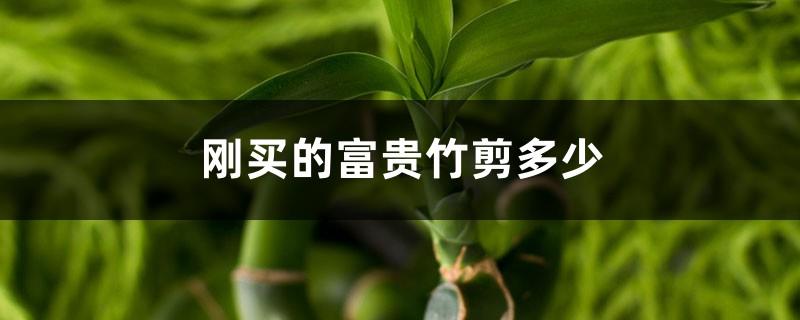 刚买的富贵竹剪多少,剪完怎么养