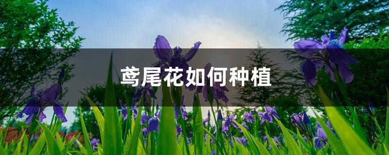 鸢尾花如何种植,后期如何养护