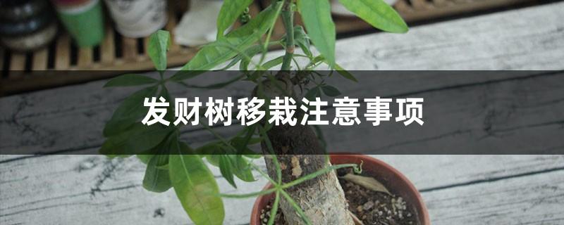 发财树移栽注意事项,移栽后如何浇水