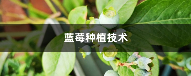 蓝莓种植技术,种植气候要求