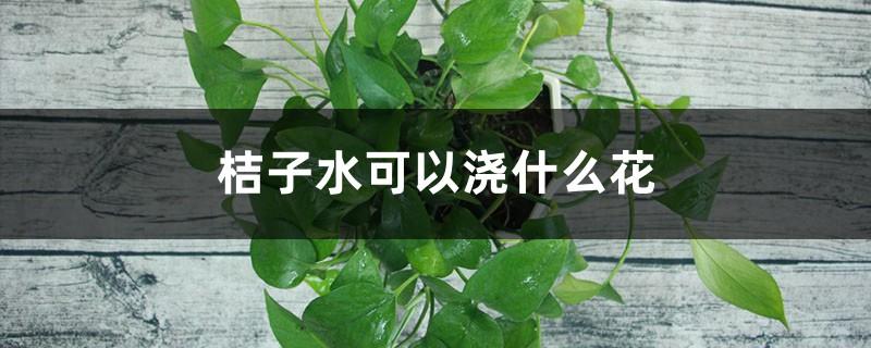 桔子水可以浇什么花,可以浇绿萝吗