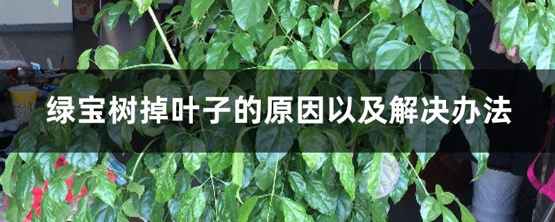 绿宝树掉叶子的原因以及解决办法,掉叶子还会长吗