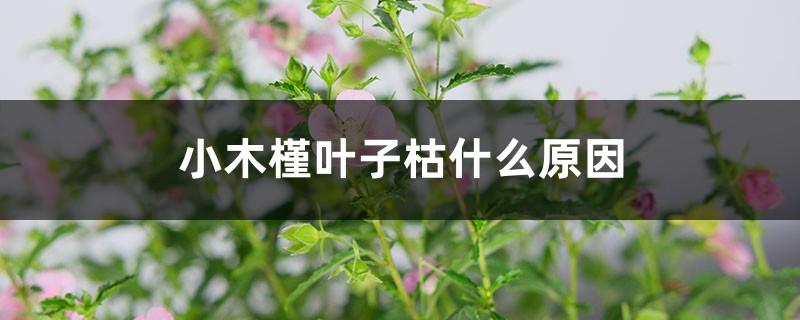 小木槿叶子枯什么原因,冬天落叶吗