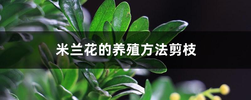 米兰花的养殖方法剪枝