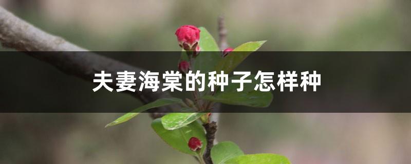 夫妻海棠的种子怎样种