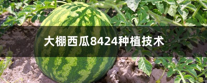 大棚西瓜8424种植技术,西瓜亩产量一般是多少