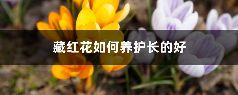 藏红花如何养护长的好,需注意什么