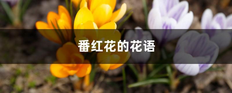 番红花的花语和寓意,有什么传说故事