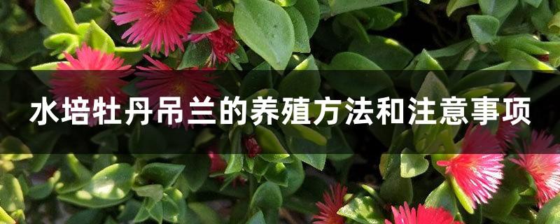 水培牡丹吊兰的养殖方法和注意事项,水培会不会开花