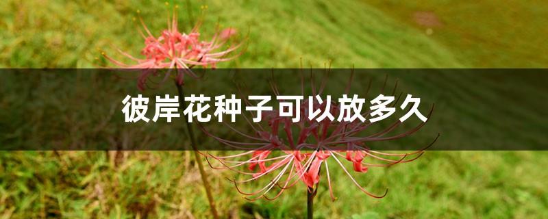 彼岸花种子可以放多久,播种期是什么时候
