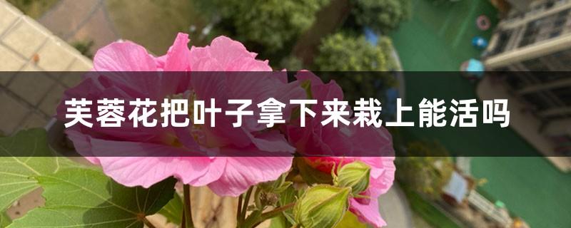芙蓉花把叶子拿下来栽上能活吗,繁殖方法