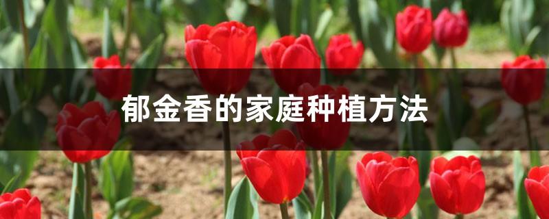 郁金香的家庭种植方法,什么时间种植