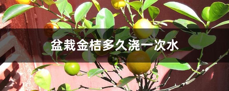 盆栽金桔多久浇一次水,怎么浇水好