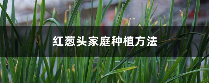 红葱头家庭种植方法,种植全过程