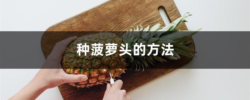 种菠萝头的方法,多久能长菠萝