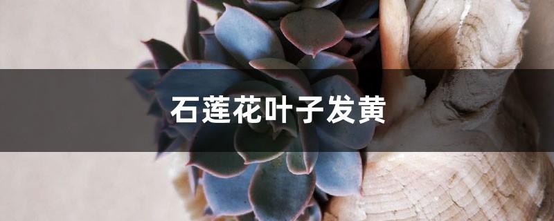 石莲花黄叶的原因和处理办法