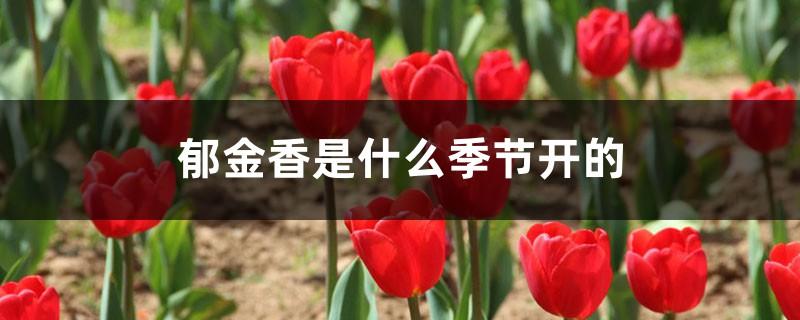 郁金香是什么季节开的,开花后的养护方法