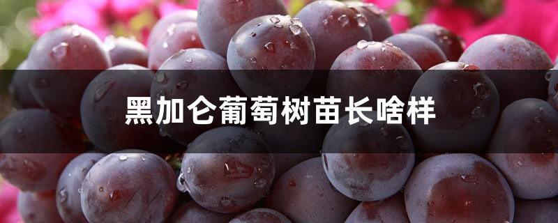 黑加仑葡萄树苗长啥样,栽培技术