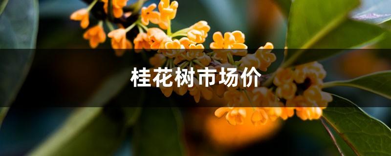 桂花树市场价,桂花树图片