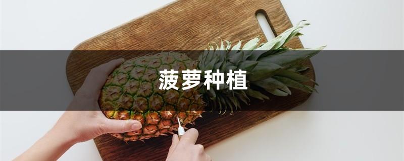 菠萝种植,什么时候种植